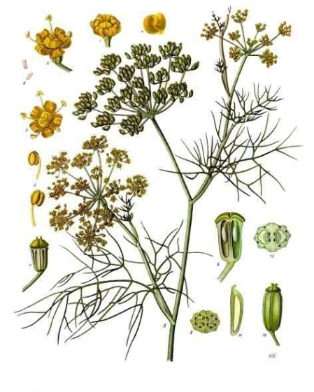 Fennel, from Koehler's Medicinal-plants (1887)